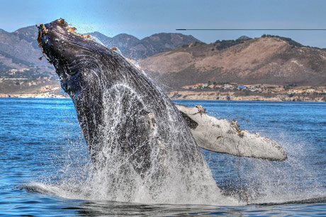 whale watching avila beach